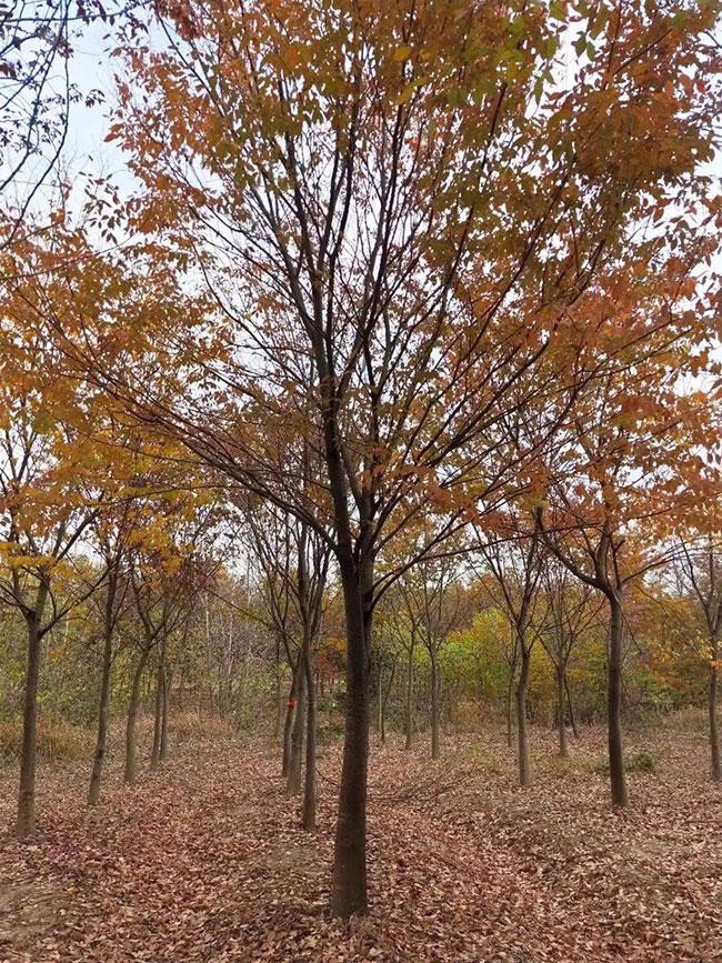 红榉树未来十年前景如何?红榉树种植多久成才?