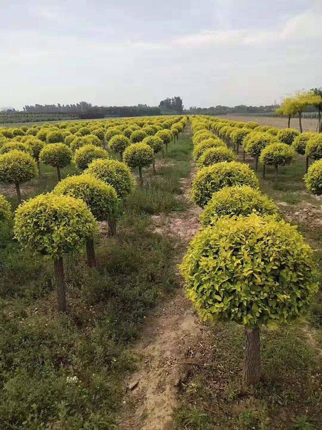 榆树未来前景怎么样?榆树种植效益与前景