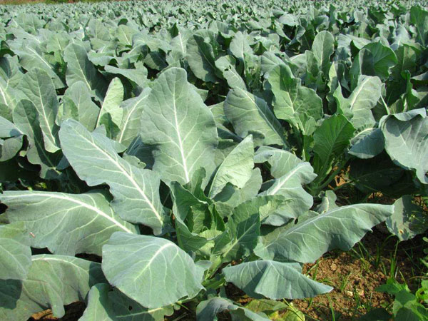 沙土地适合种什么蔬菜?沙土地种植什么效益高?