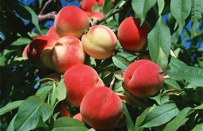 什么水果适合庭院种植?适合院子里种植的水果