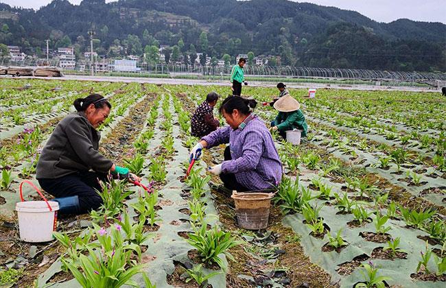 农村高山适合种植什么?适合高山种植的农作物