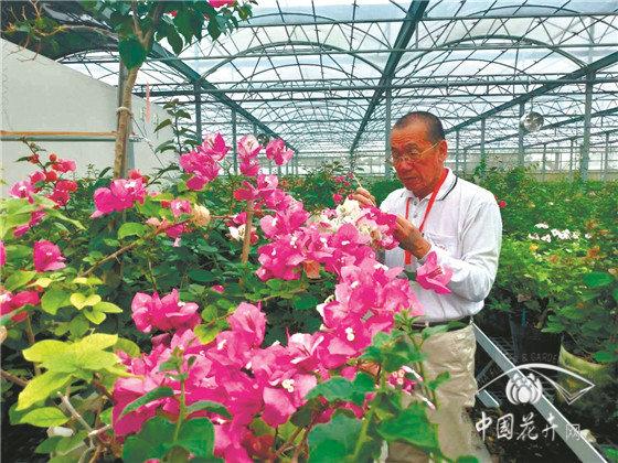 台湾育种达人林继志育成350多个三角梅新品种
