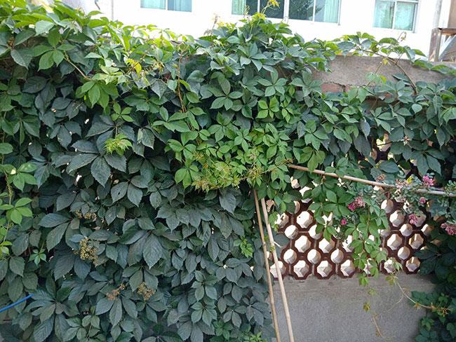 爬山虎几月种植?爬山虎种子种植方法