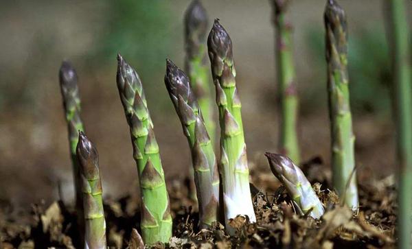 芦笋几月份种植?露天芦笋苗的种植方法