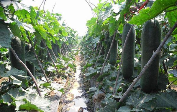 冬瓜几月份种植?露地冬瓜种植时间方法