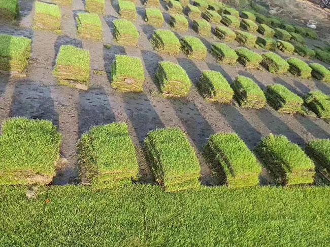 常用草坪品种有哪些?绿化草皮品种介绍