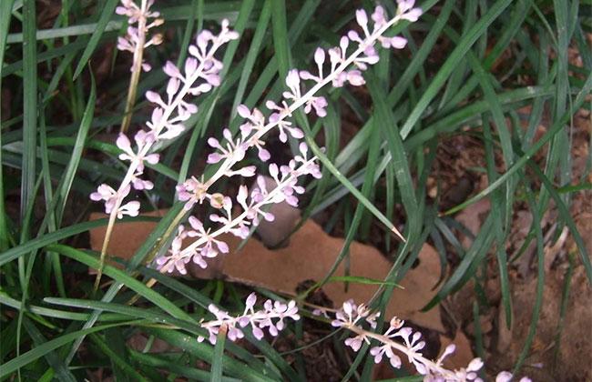 耐阴草坪品种有哪些?喜阴的草坪植物介绍