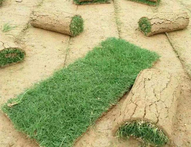 混播草坪的品种有哪些?常见草坪混播组合品种