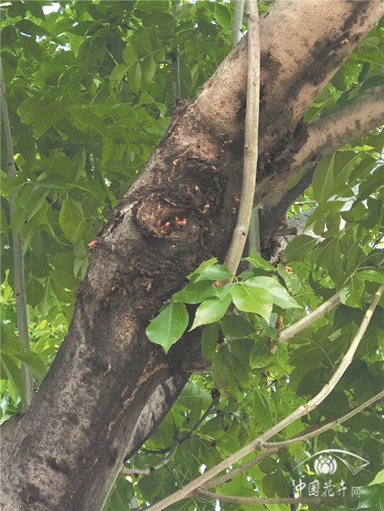 白蜡树出现风折、枝枯,小线角木蠹蛾不得不防