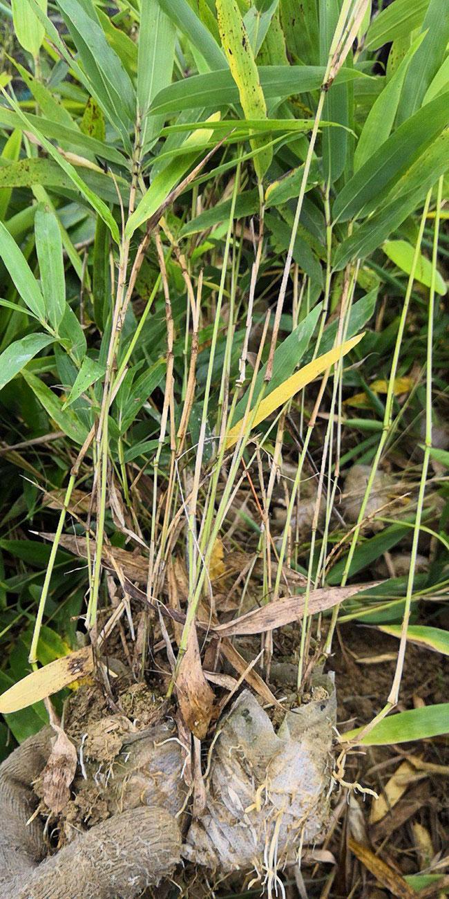 竹子什么品种珍贵?名贵竹子排名