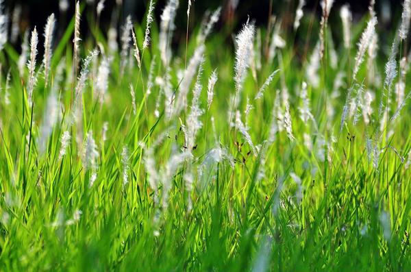 茅草有什么价值?茅草为什么没有人种植?
