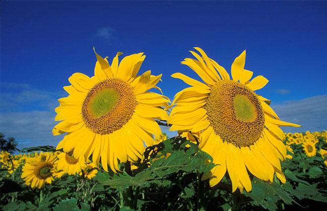 太阳花的象征意义是什么?
