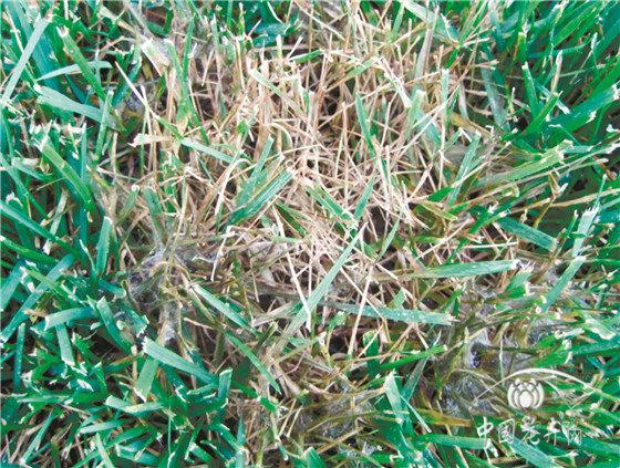 草坪病害对症治疗有妙招儿