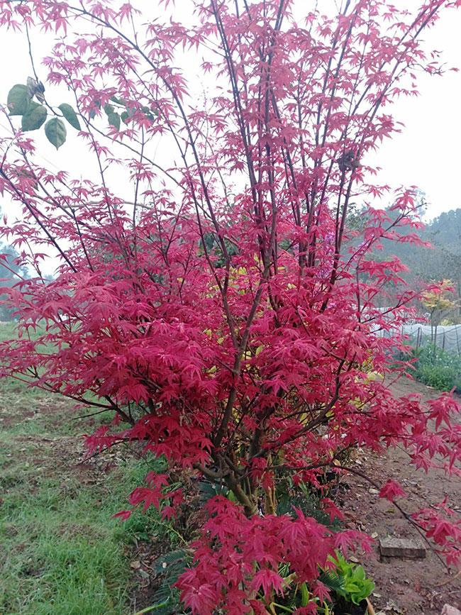 美国红枫盆栽怎么种?美国红枫盆栽种植教程