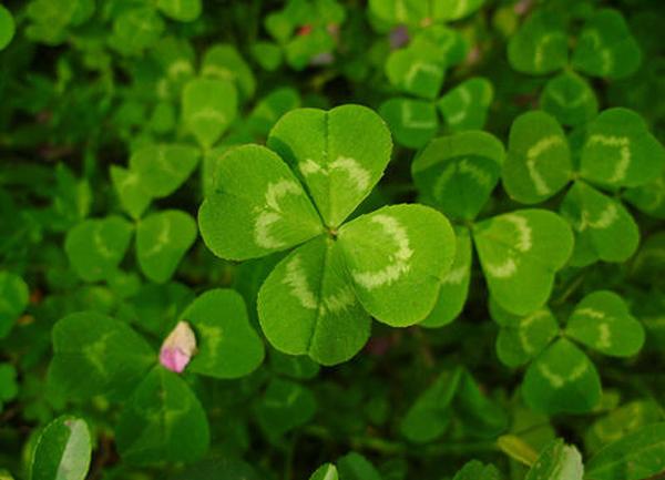 四叶草的花语是什么?四叶草的寓意和象征