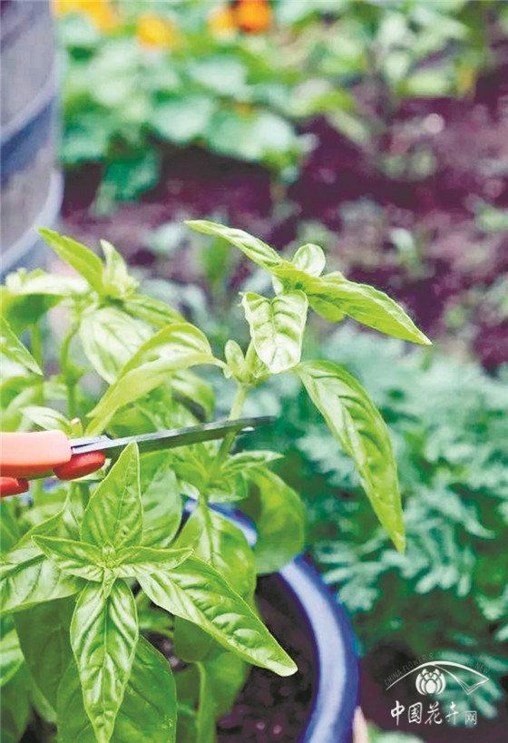 夏天多种这些植物,驱蚊又健康