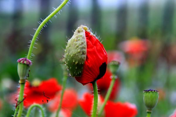 罂粟花的花语是什么?罂粟花的寓意和象征