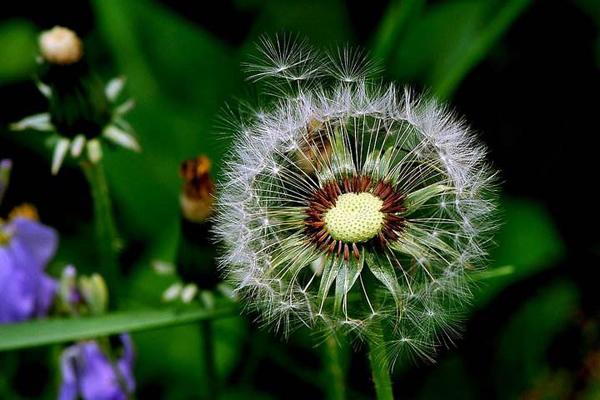 蒲公英的花语是什么?蒲公英的寓意和象征