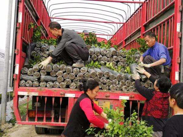 苗木反季节移栽运输是关键,这3大细节要好好看看!