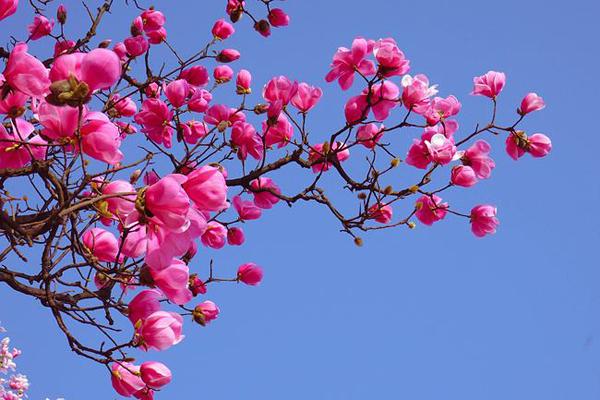 辛夷花的花语是什么?辛夷花的寓意和象征