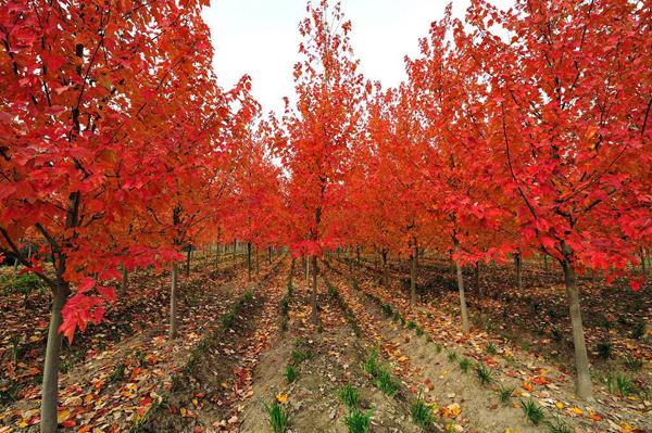 美国红枫怎么种植?红枫树栽培与管理技术