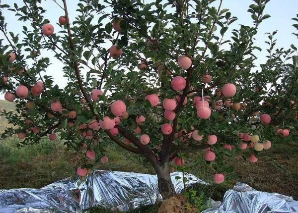 苹果树苗怎么种植?苹果栽培新技术