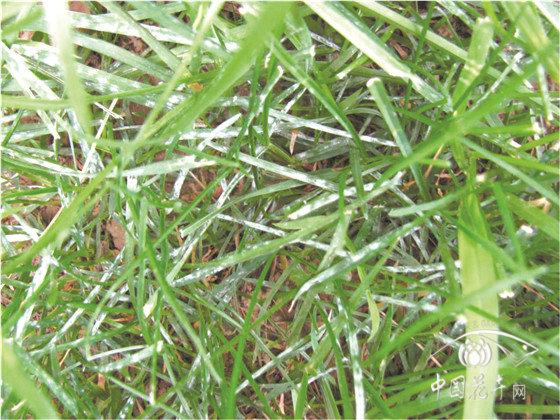 冷季型草坪如何安全越夏?