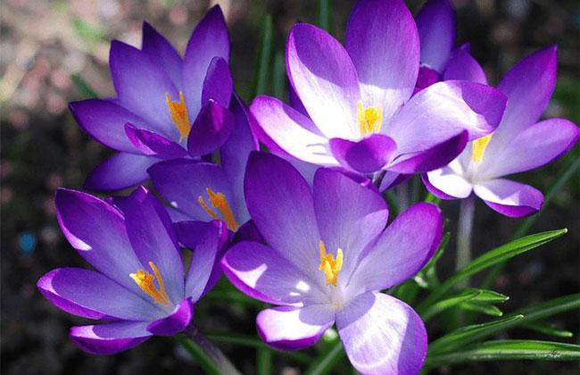 番红花的花语是什么?番红花的寓意和象征