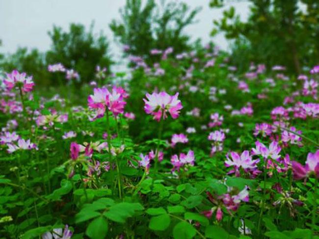 紫云英的花语是什么?紫云英的寓意和象征