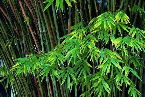 观赏竹有哪几种?适合室内养的观赏竹种类