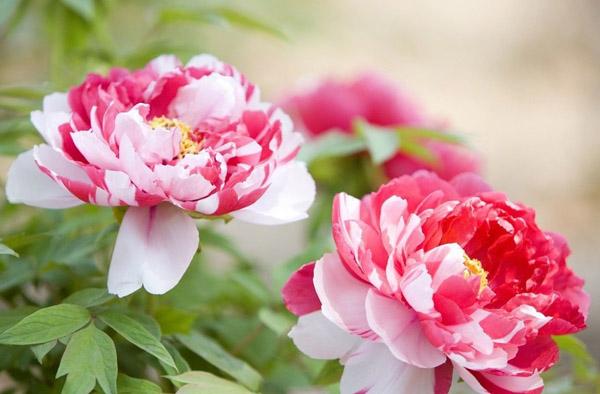 牡丹花哪个品种好?牡丹花的种类和名称
