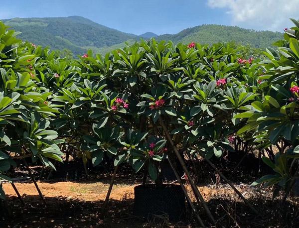【行情预测】2020年下半年苗木市场急需的品种