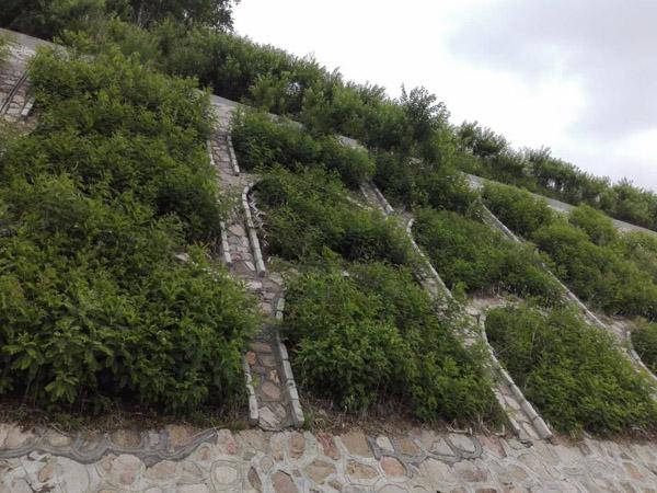 雨水量激增,这几种护坡固土的优秀苗木必须安排起来了!
