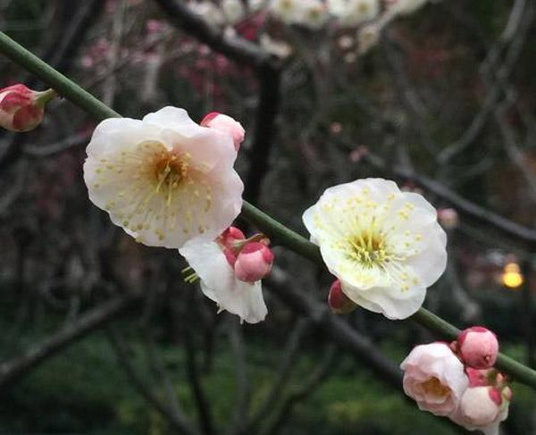 梅花哪种品种最好看?梅花珍贵品种排名