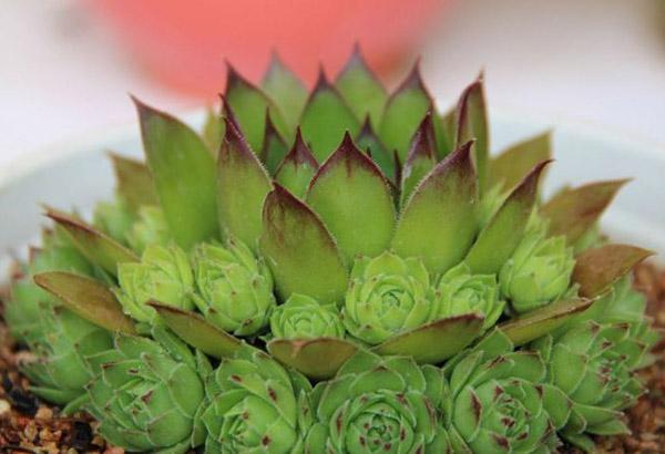 观音莲的花语是什么?观音莲的寓意和象征