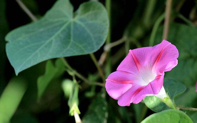 喇叭花的花语是什么?喇叭花的寓意和象征