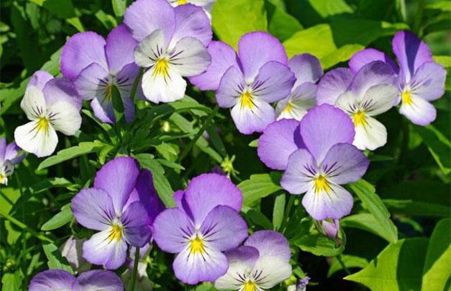 七色堇的花语是什么?七色堇的寓意和象征