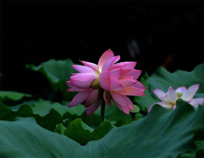 双生花的花语是什么?双生花的寓意和象征