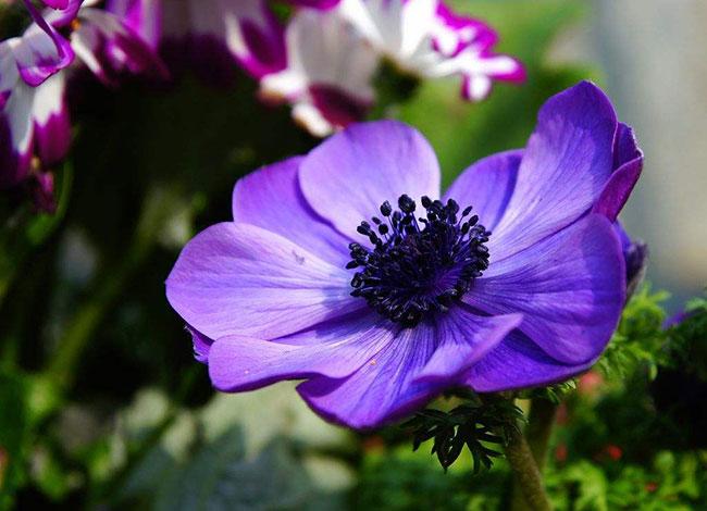 银莲花的花语是什么?银莲花的寓意和象征