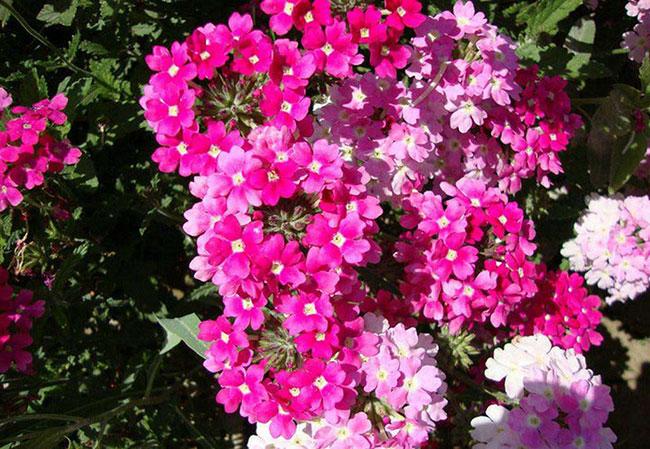美女樱的花语是什么?美女樱的寓意和象征