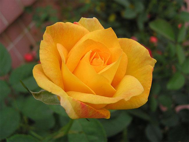 12朵玫瑰的花语是什么?12朵玫瑰的寓意和象征