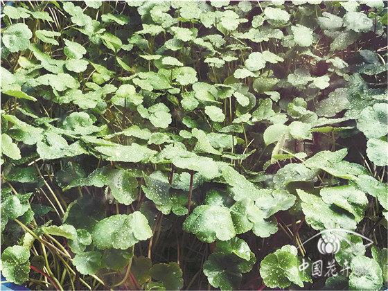 中国水生植物黄金期还将持续10年