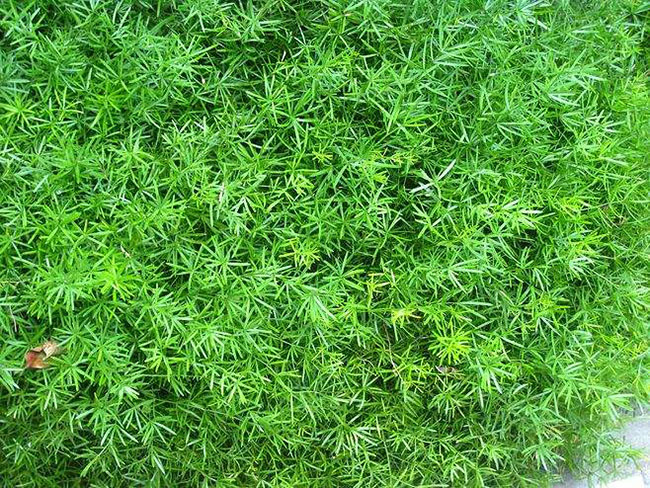 天门冬的种植前景