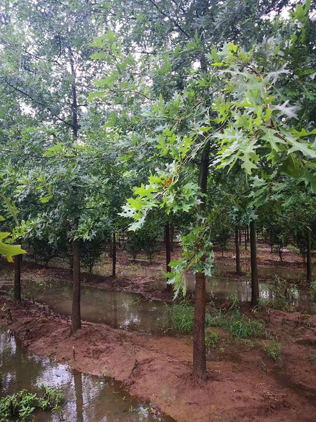 娜塔栎小苗如何种植?娜塔栎种植技术