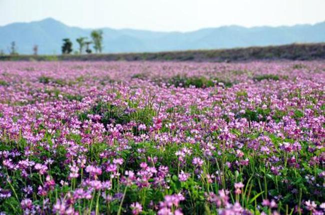 紫花苜蓿助崇明建世界级生态岛
