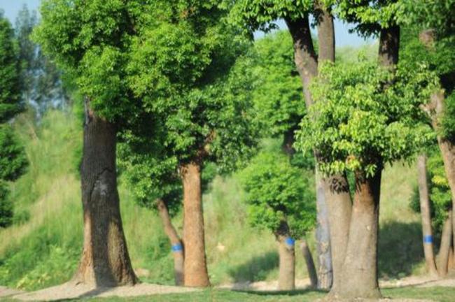 广西:美好生活长在香樟树下