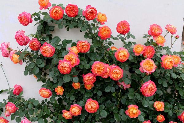这6种庭院植物悄悄排到了销售前沿,你种了吗?
