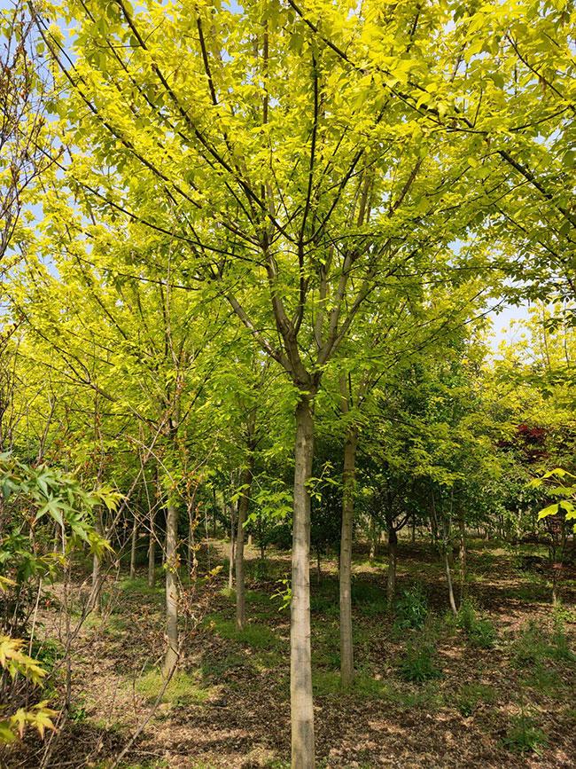 复叶槭怎么修剪?金叶复叶槭修剪时间方法