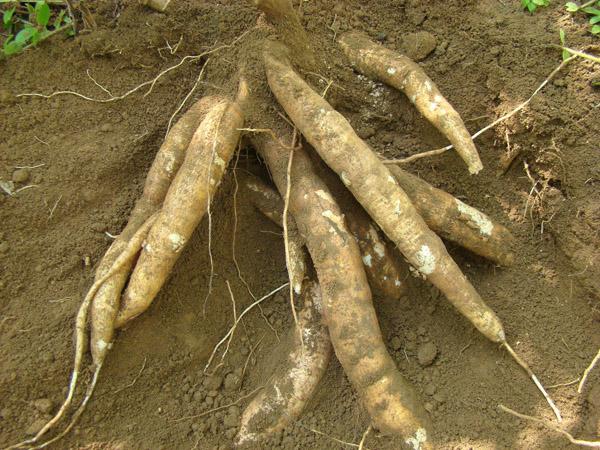 木薯的价值有哪些?木薯前景分析