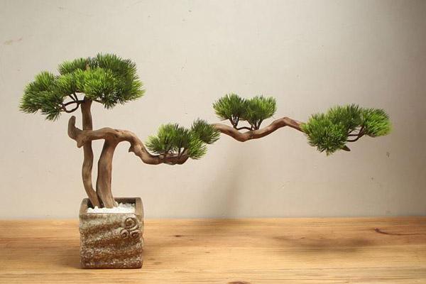 迎客松用什么土栽培?迎客松盆景种植方法